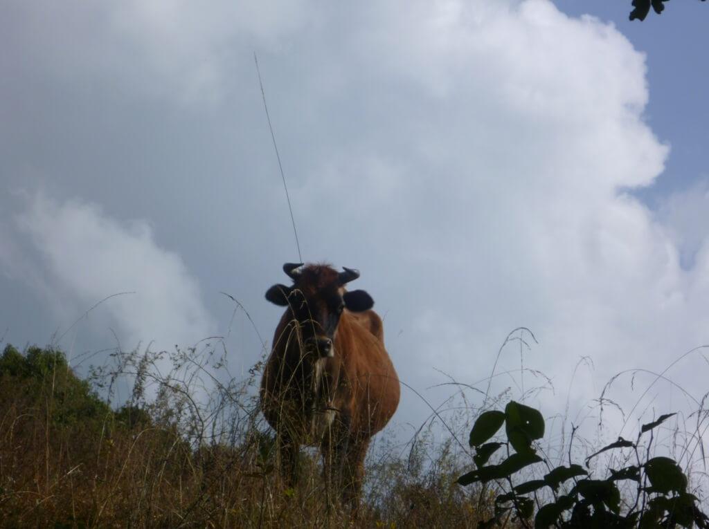 Дикий буйвол